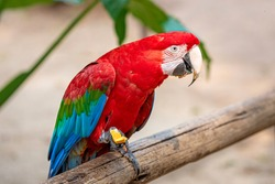 A red and green macaw perched on a fence munching food. Also known as the green-winged macaw, this is a large, mostly-red macaw of the genus Ara widespread in the woodlands of South America.
