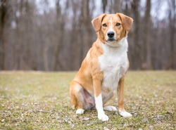 A red and white Australian Shepherd mixed breed dog sitting outdoors