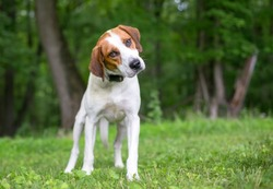 A red and white Coonhound mixed breed dog listening with a head tilt