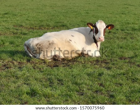 A red and white cow is ruminating in the meadow.  #1570075960