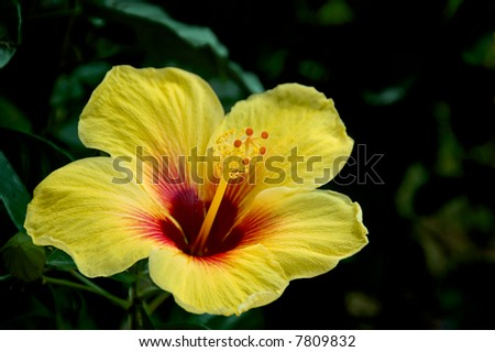 A red and yellow hibiscus against a dark green background