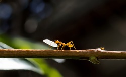 A red ant (fire ant, Solenopsis geminate) carrying a grain of rice