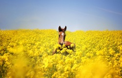 a red baby horse in the yellow field