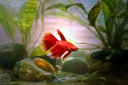 A red beautiful betta fish from an Aquarium with nature light