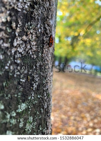 A red beetle crawls on a tree on a blurred background. Soldier beetle.Bug soldier on a tree trunk, red and black beetle, super macro mode.red beetle close up against a blurred autumn tree