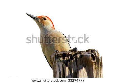 A Red Bellied Woodpecker (Melanerpes carolinus) perched on a dead tree. Isolated