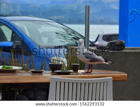 A red-billed gull (Larus novaehollandiae) on a coffee-table with cups and plates, looking for some food. Kaikoura, New Zealand, South Island.