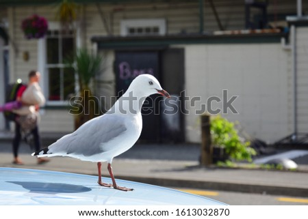 A red-billed gull (Larus novaehollandiae) on a the roof of a parked car. Takaka, New Zealand, South Island.