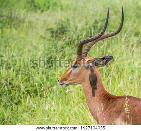 A red-billed oxpecker clears mites from the ear of an impala ram in the Kruger National Park in South Africa image in horizontal format