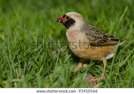 A Red Billed Quelea, native to sub-Saharan Africa.