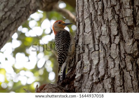 a red billed woodpecker perched on a tree trunk searching for food
