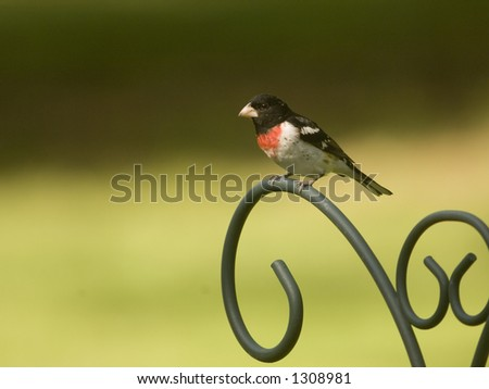 A red breasted grosbeak sits on on a metal post in a backyard in rural Illinois
