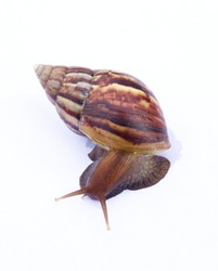 A red-brown carapace snail protruding from the shell on a white background.