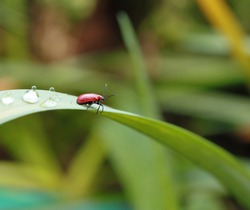 A red bug on a green blade of grass close up