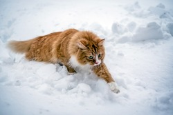A red cat in the winter neatly runs through the snow