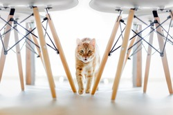 A red cat runs between the legs of the chair. White chair with wooden legs