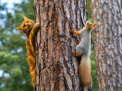 a red cat tries to hunt a squirrel in a pine forest in the garden