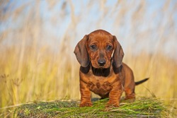 a red Dachshund puppy looks at the camera. Cute puppy sitting. Dachshund on the background of dry grass.