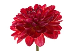 A red dahlia flower on a white background isolated.Red dahlia.