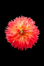 A red Dahlia flower on black background.