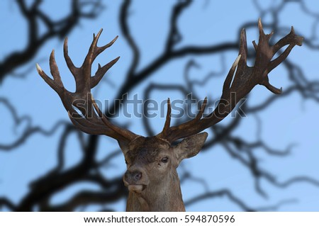 A red deer posing with it's impressive antlers. #594870596