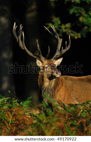 A red deer stag listening to the challenge of a rival during the rut