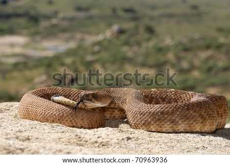 A Red Diamond Rattlesnake in the Santa Ana Mountains of Riverside.