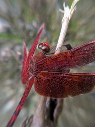 a red dragonfly perched on a dry branch