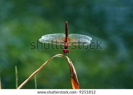 A red dragonfly perches on a green stem