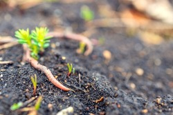 a red earthworm is crawling along the soil next to a green plant. the worm plays an important role in soil fertilization