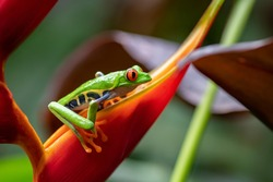 A red-eyed tree frog in Costa Rica