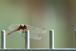 a red firefly dragonfly sits on a fence and looks into the camera