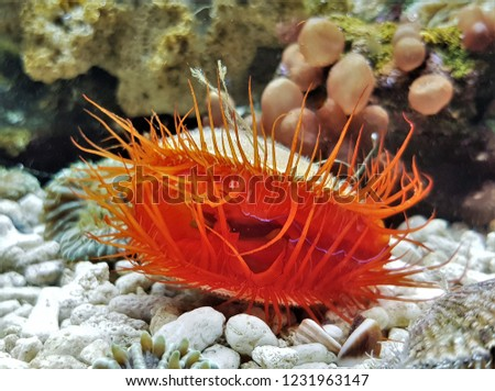 A red flame scallop in marine aquarium. It has a bright red mantel,red tentacles,it has always showed the flashing light display,Ctenoides scaber is a saltwater clam (bivalve mollusc) ,family Limidae. Сток-фото ©