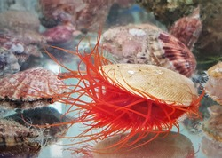 A red flame scallop in marine tanks. It has a bright red mantel,red tentacles,it has always showed the flashing light display,Ctenoides scaber is a saltwater clam (bivalve mollusc) ,family Limidae.