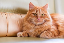 A red fluffy cat lying on the couch of the house. Domestic pets.