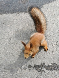 A red fluffy squirrel sits on an asphalt road in a park on the Elagin Island of St. Petersburg