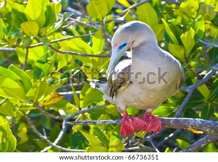 a red footed boobie  in genovesa island, galapagos