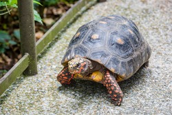 A red-footed tortoise (Chelonoidis carbonarius) is walking on the path.  A species of tortoise from northern South America.   They have dark-colored, loaf-shaped carapaces with a lighter patch.