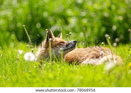 A red fox in the spring