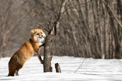 A red fox on a leash in the form of a chain stands in the winter forest on its hind legs leaning on a tree. An animal with a funny snout. Exotic pet. Unusual pet. The animal is in an unusual position.