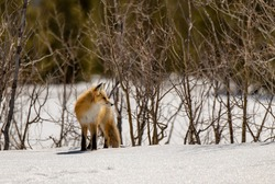 A Red Fox Roaming the Mountains