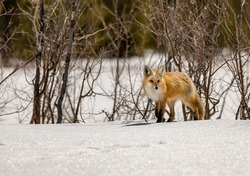 A Red Fox Roaming the Snowy Mountains