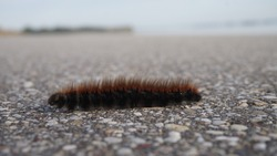 A red harry caterpillar, selective focus of one single caterpillar orange, black fluffy hairy worm crawling on the ground , Golden tiger worm butterfly