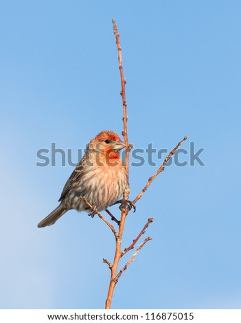 A red headed house finch balances on a branch of yet to bloom  tree, sky blue background