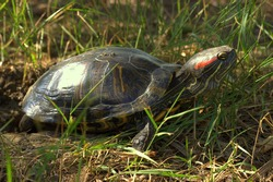 A red-headed turtle digs a hole in the ground for laying eggs. Side view