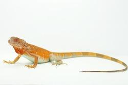 A red iguana (Iguana iguana) is sunbathing.