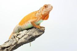 A red iguana (Iguana iguana) is sunbathing on weathered wood.