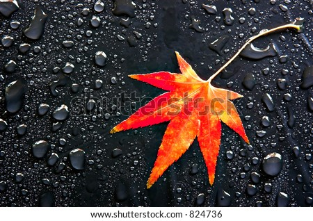 A red Japanese Maple leaf among raindrops