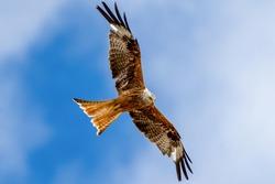 A red kite bird (milvus milvus) soaring high in the skies.