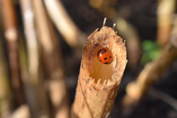 A red ladybird with seven black round spots This insect hibernates through the winter in cosy sheltered sites If it wakes up before spring and there are no aphids for it to eat it will starve to death